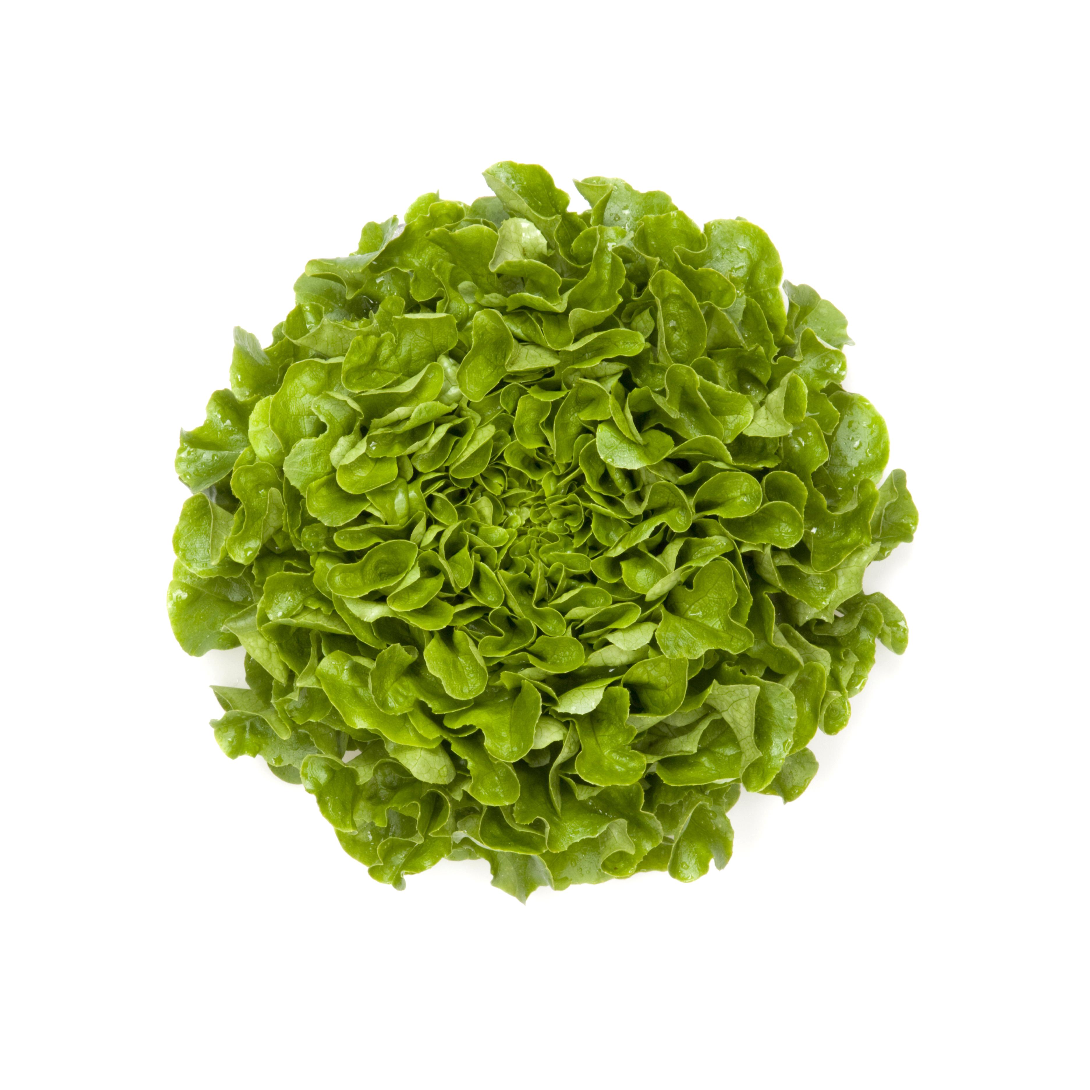 Lattuga foglia di quercia | Love my Salad