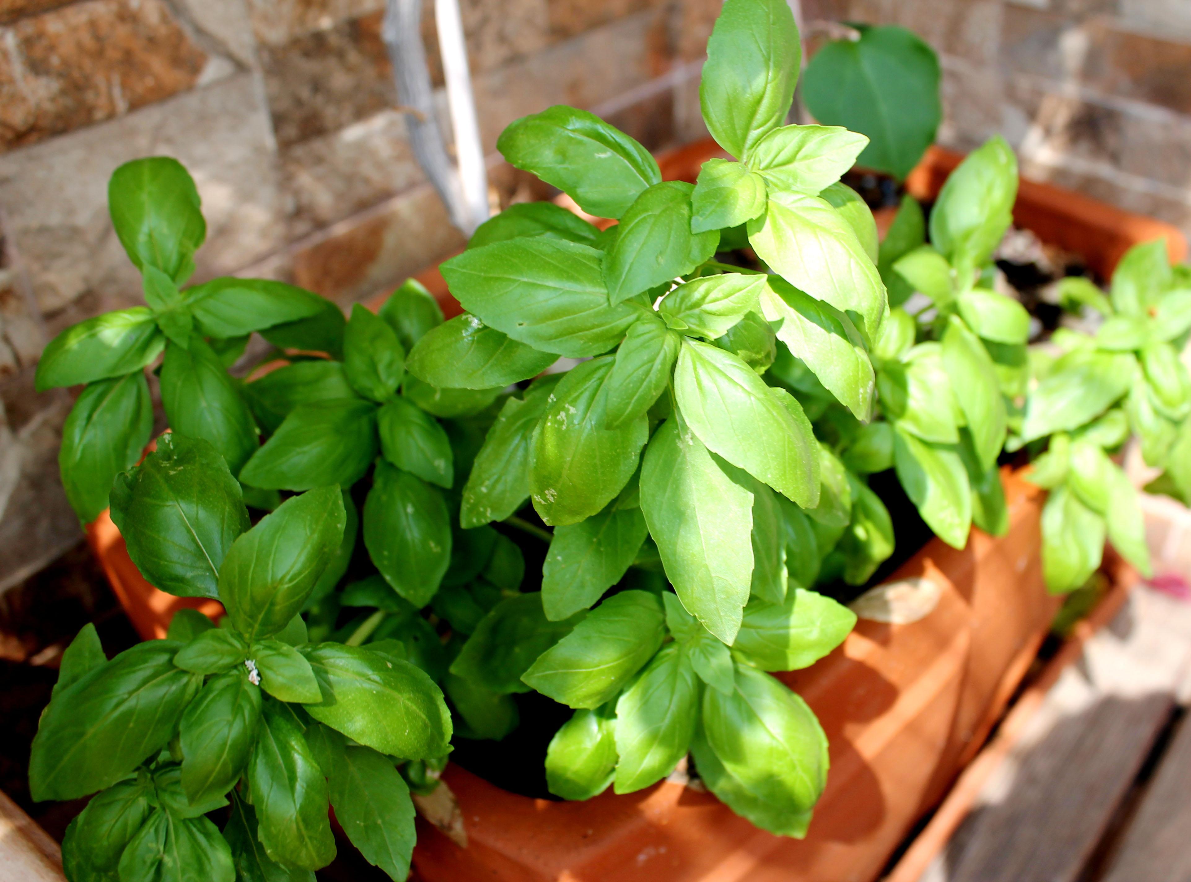 Hierbas arom ticas en mi cocina love my salad for Plantas aromaticas para cocinar