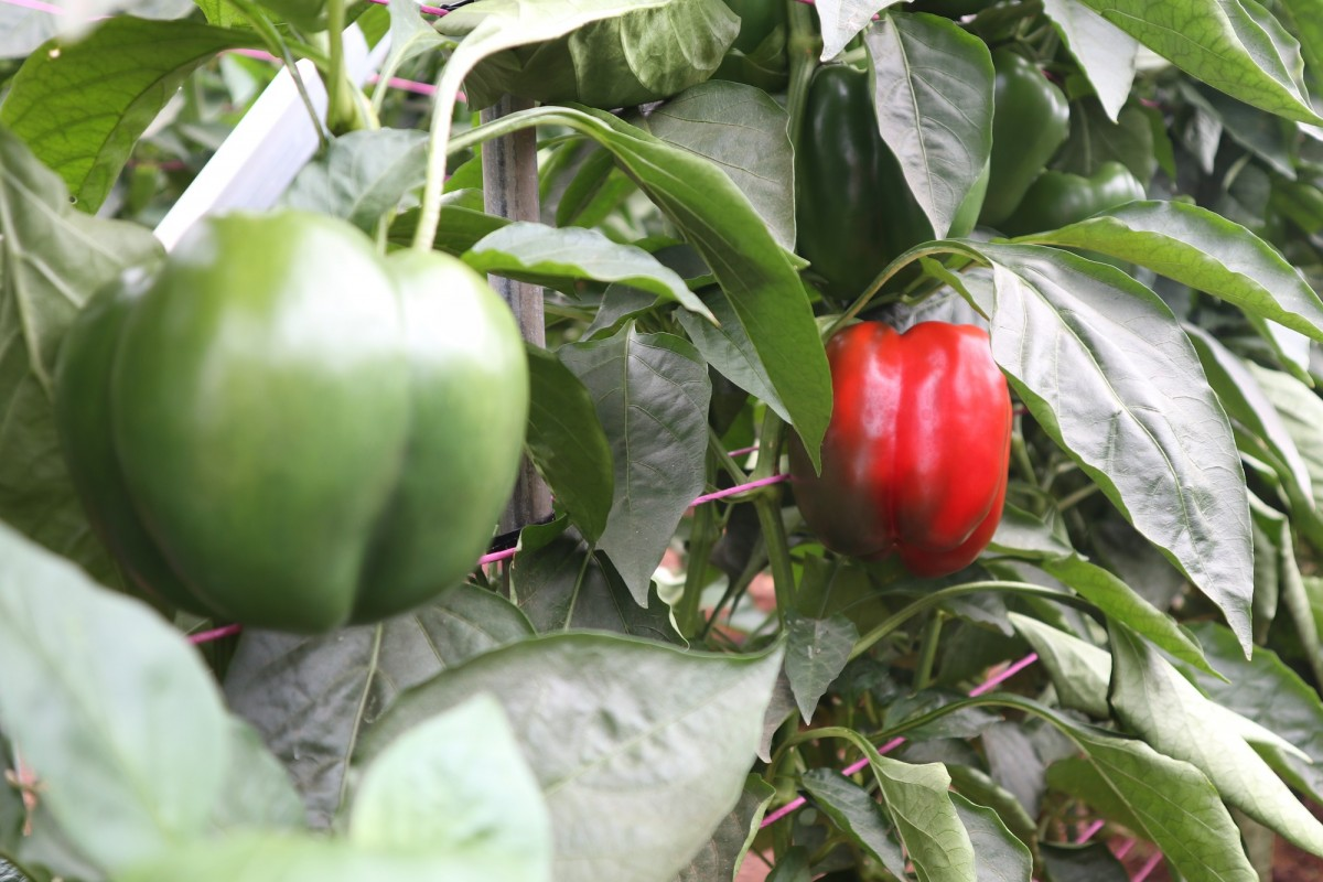 Capsicums inside a greenhouse on Braham Produce Farm