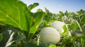 Cómo cultivar un melón cantaloupe