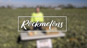 How to pick a ripe rockmelon