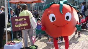 'Growing' the tasty tomato at the Little Food Festival