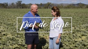 How to pick a ripe Piel de Sapo melon