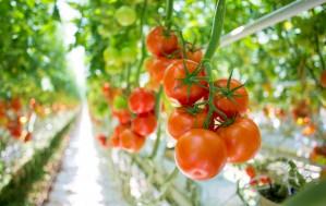 Costa Tomatoes