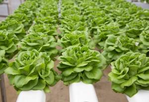 I vantaggi della coltivazione idroponica della lattuga Salanova®