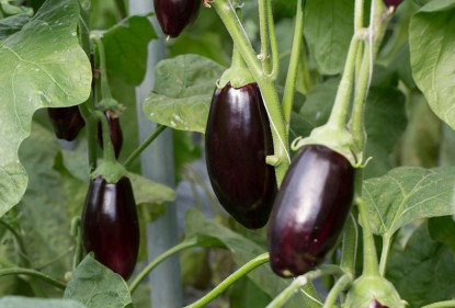 De alwetende aubergine