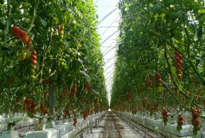 Il produttore racconta: il pomodoro datterino Solarino RZ