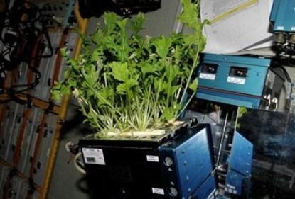 Des astronautes cultivent leurs propres légumes de l'espace