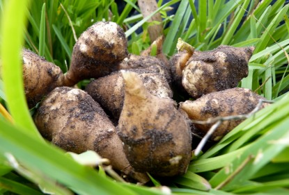 I love Jerusalem artichokes steamed and served with mum's cheese sauce