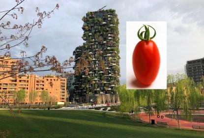 Viaggiando in Italia tra colture e culture: il  pomodoro datterino Salarino RZ a Milano, un connubio apparentemente insolito