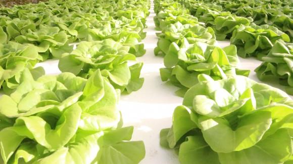 Il produttore racconta: i vantaggi di contivare Salanova® in idroponica