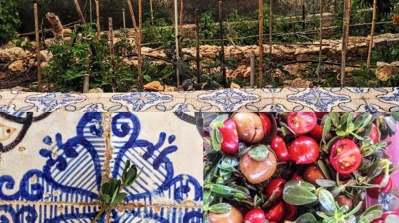 'A Purciddana di Levanzo, ovvero storia di una pianta