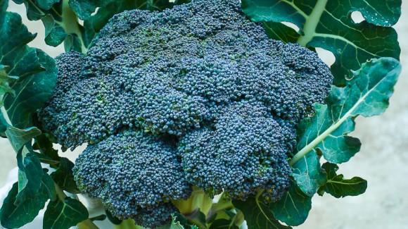 """La versatilidad de los cultivos de temporada. Mi semana del """"Brócoli"""""""