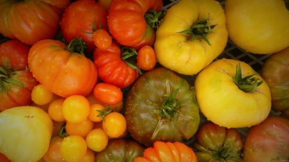 Cultivo de Tomates ecológicos. Mi gran pasión
